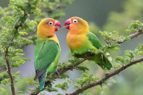 You are currently viewing পোষা লাভবার্ড প্রজাতির সম্পর্কে চমৎকার তথ্য