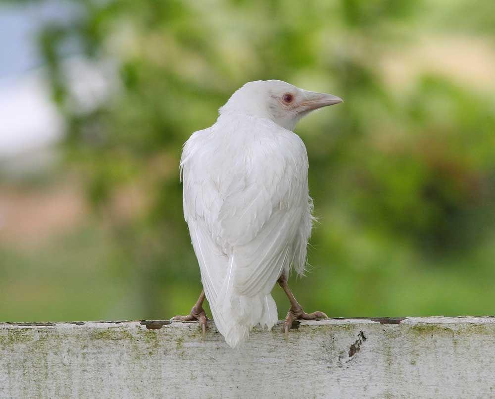 White crow ( সাদা প্রাণী )