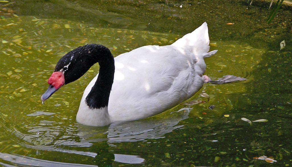 Black-necked_Swan
