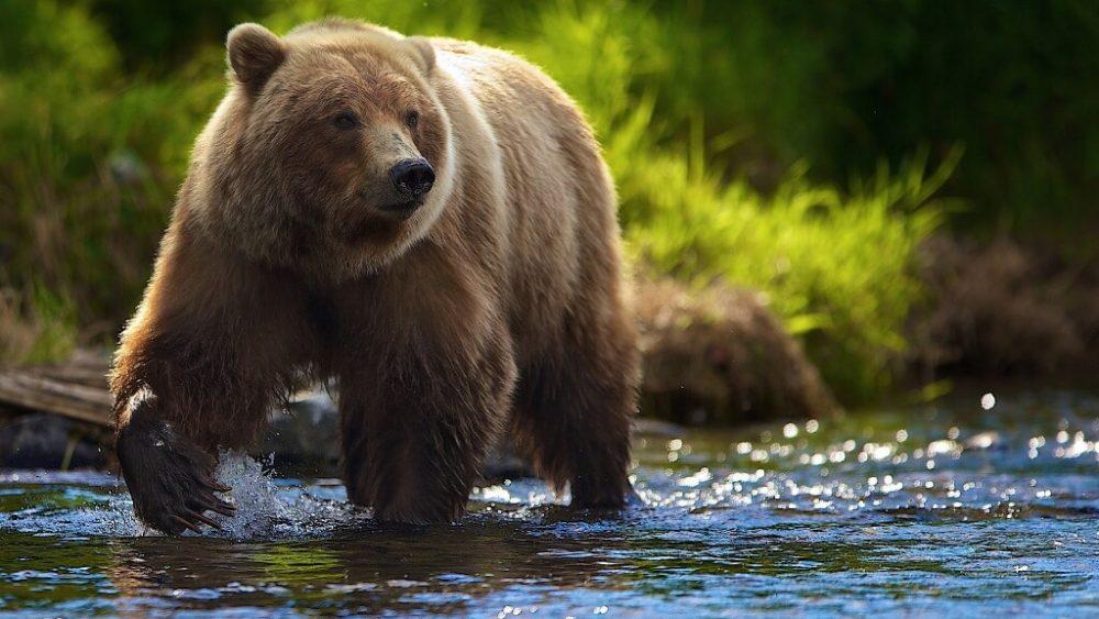 brown bear ভাল্লুক