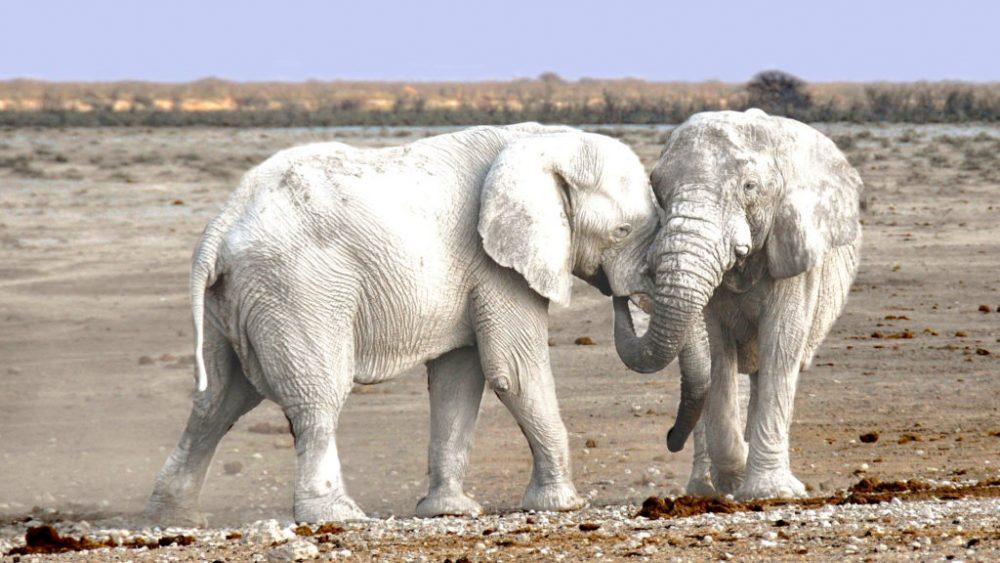 white elephant সাদা প্রাণী