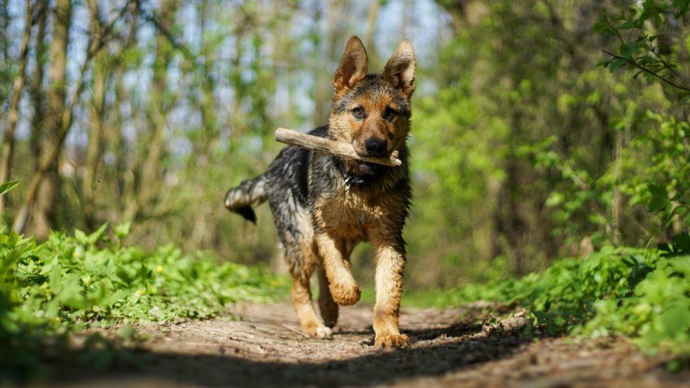German Shepherd কুকুর