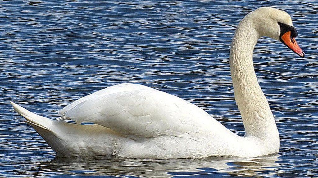 মিউট রাজহাঁস mute swan