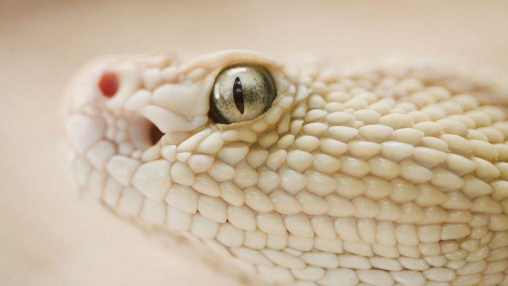 white snake python পাইথন