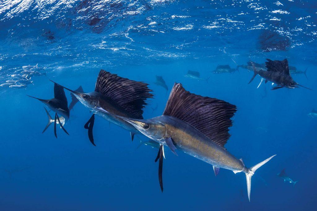 দ্রুতগামী মাছ sea fish