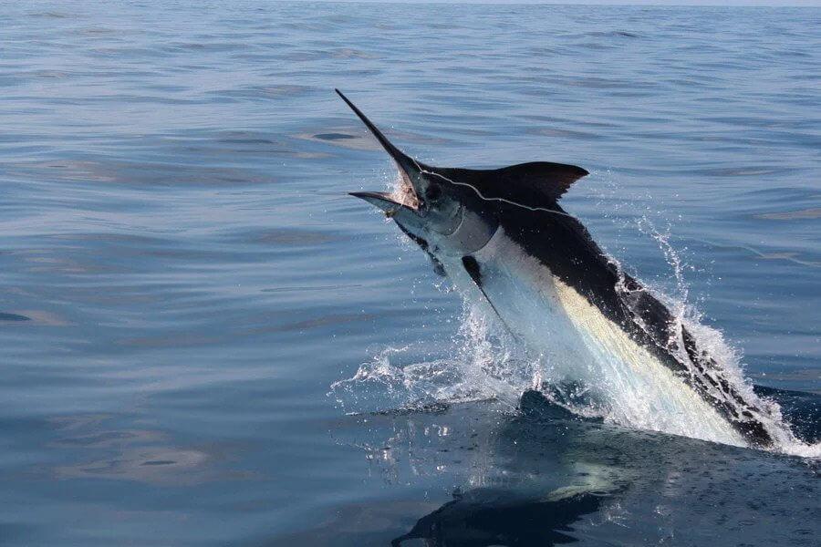 Black Marlin দ্রুতগামী মাছ