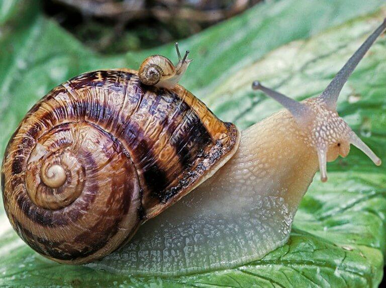 snails শামুক