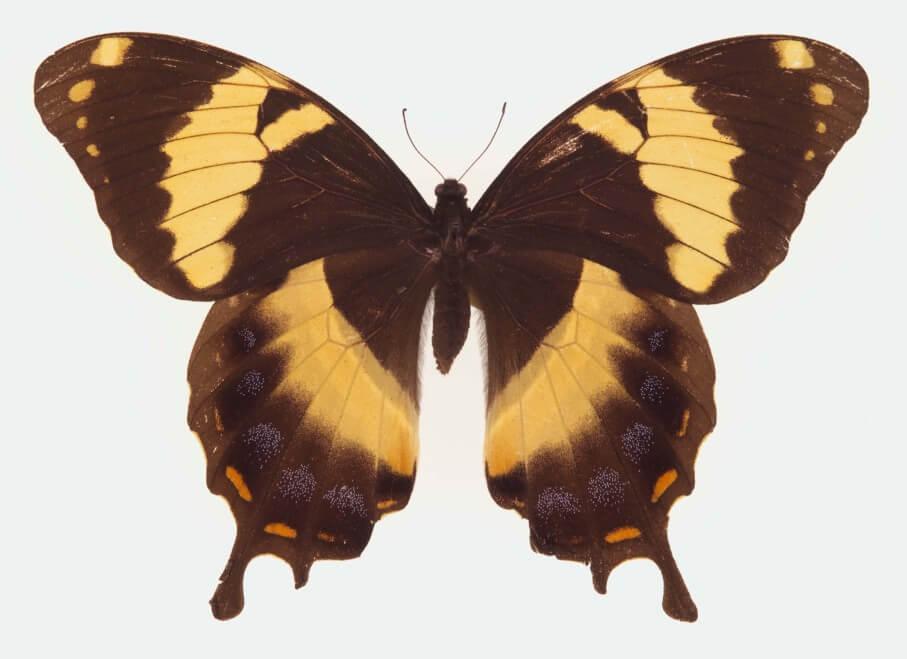 Homerus Swallowtail