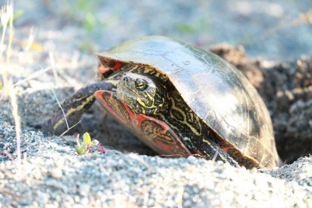 Western Turtle