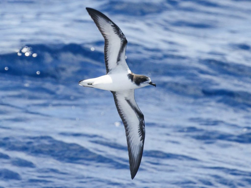 sea birds messenger