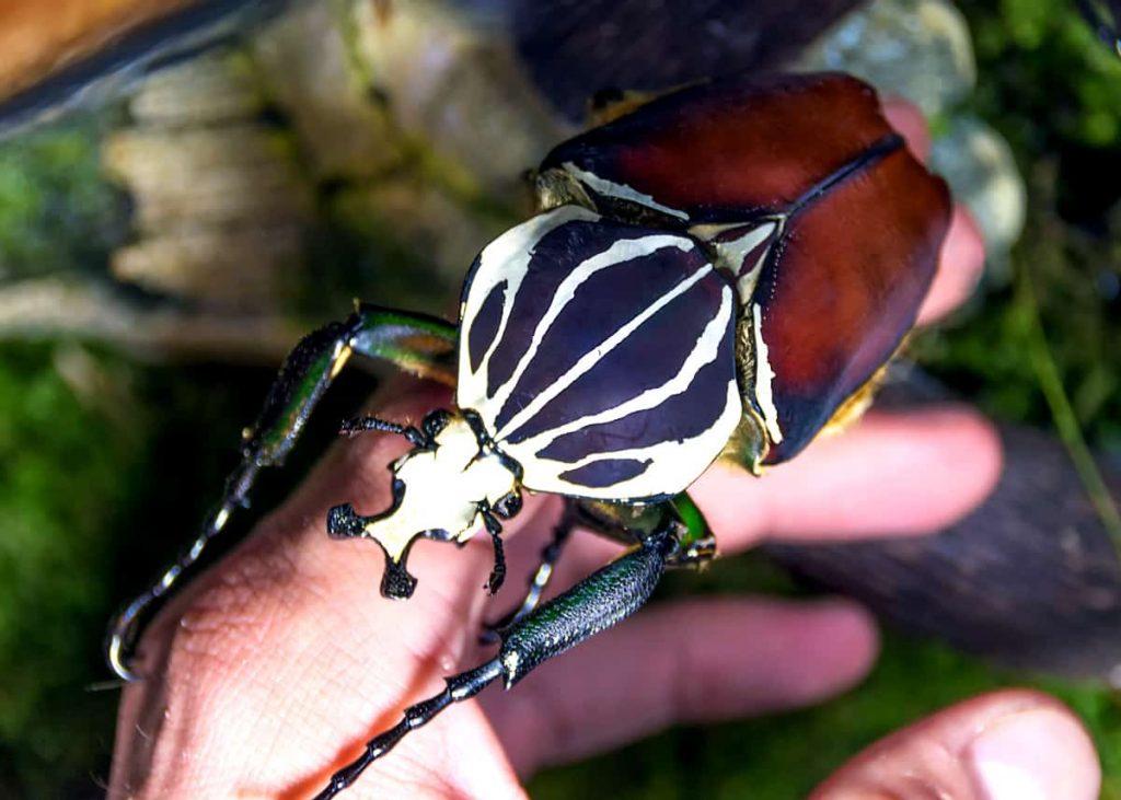 Goliath Beetle