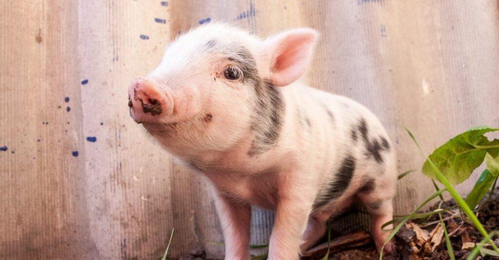 pigs শুকর