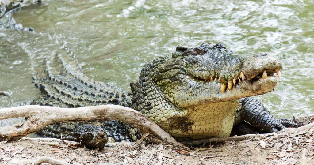 salt water crocodile কুমির সুন্দরবন