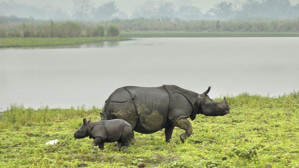 rhino in sundaban