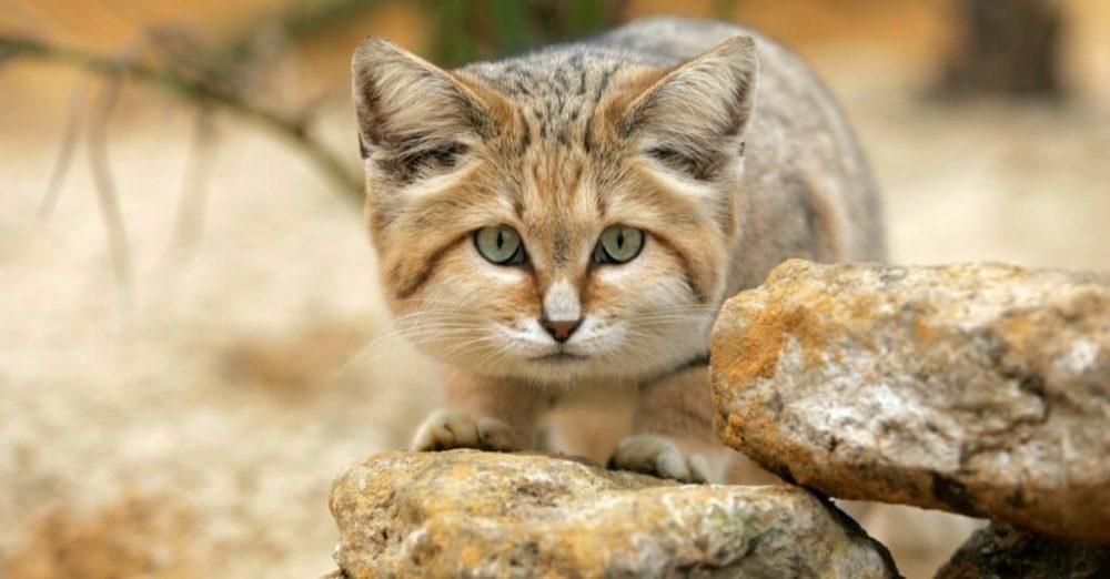 sand cat বিড়াল