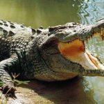 কুমির crocodile শক্তিশালী প্রানী