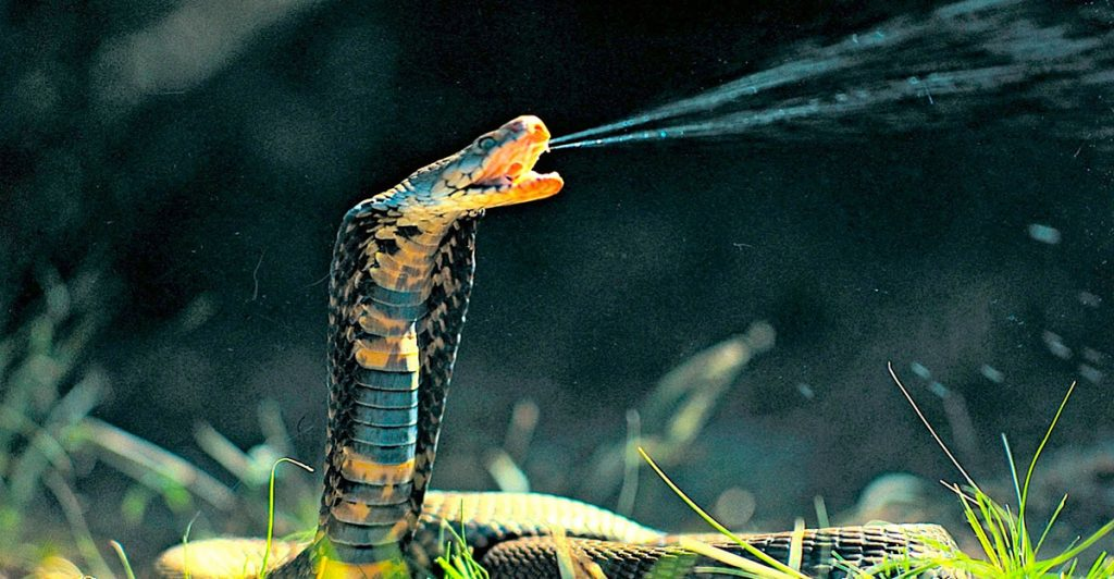 venomous-snake