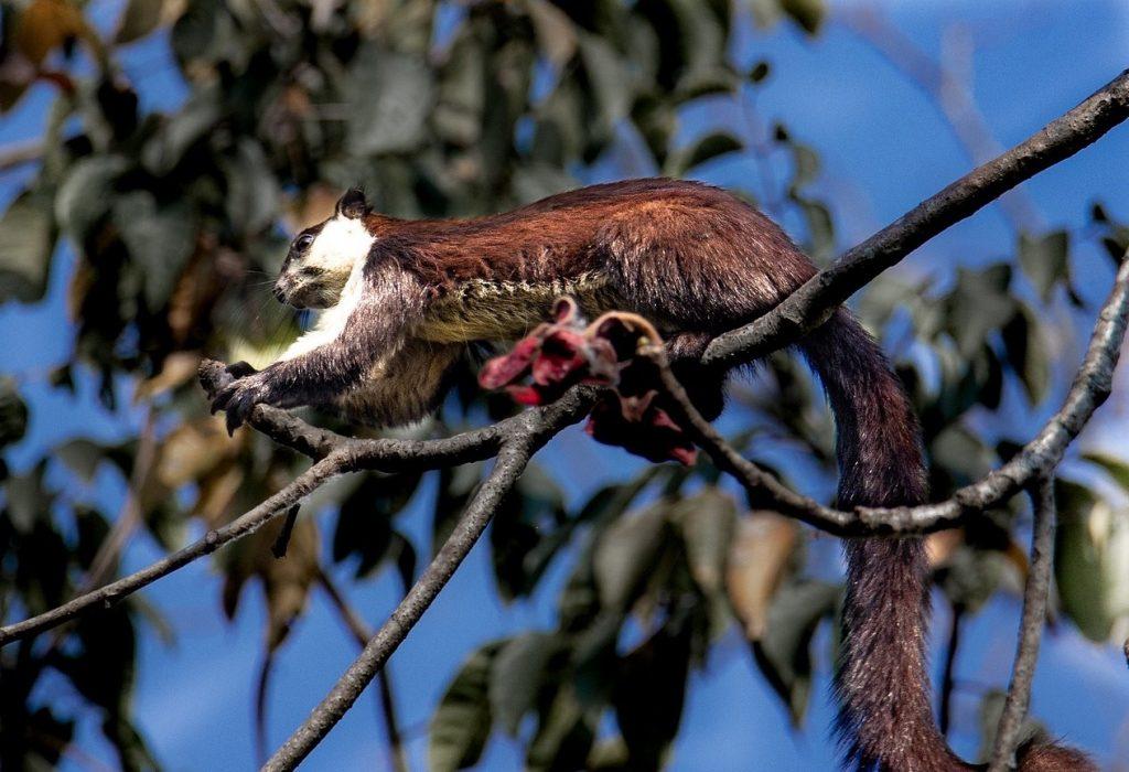 squirrel Malayan giant black