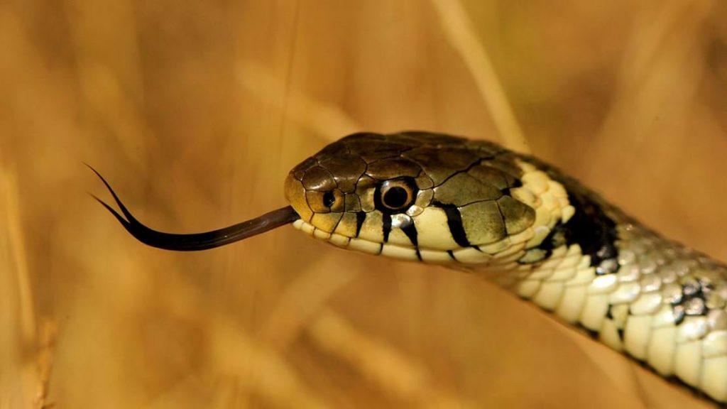 ভয়ানক Grass Snake