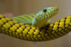 বুমস্লাং(Boomslang snake) সুন্দর ভয়ংকর সাপ