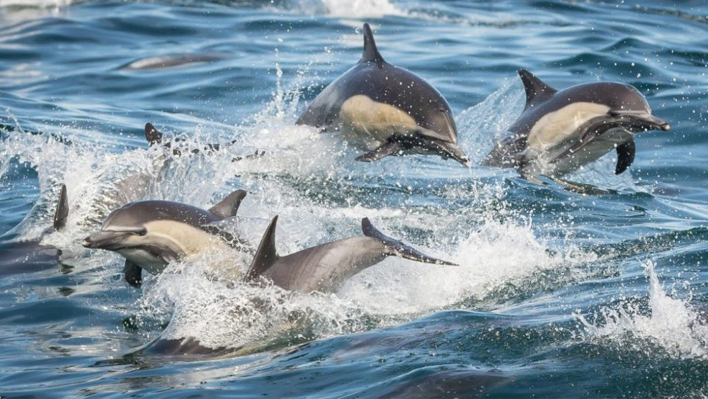 Groups of Dolphin