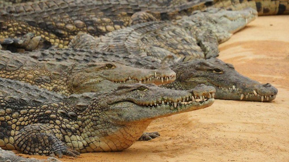 Crocodile(কুমির)