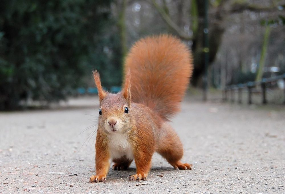 red giant squirrel