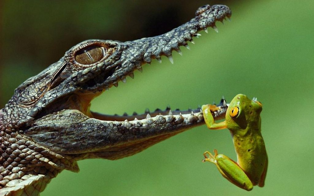 কুমির (alligator)