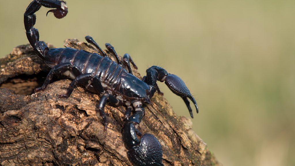 বিচ্ছু ( scorpion )