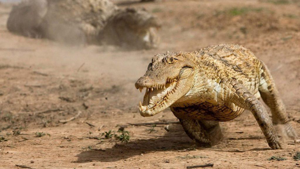 কুমির (Crocodile)