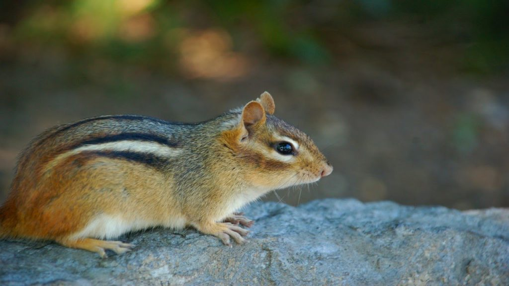 Northern Palm Squirrel
