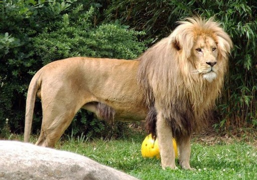 northeast congo lion