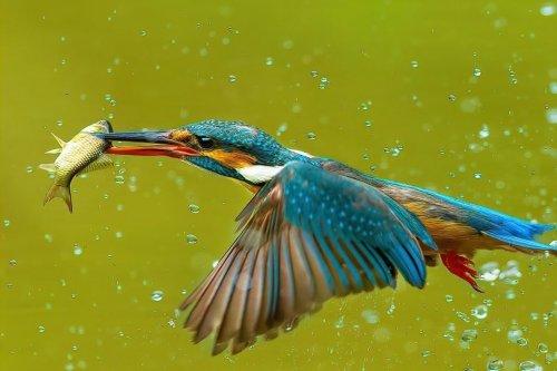 মাছ শিকারী পাখি মাছরাঙার অজানা কিছু তথ্য জেনে নিন