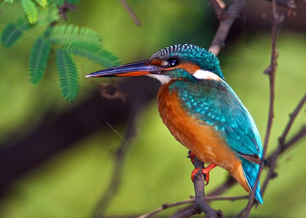 কমন মাছরাঙা Common Kingfisher