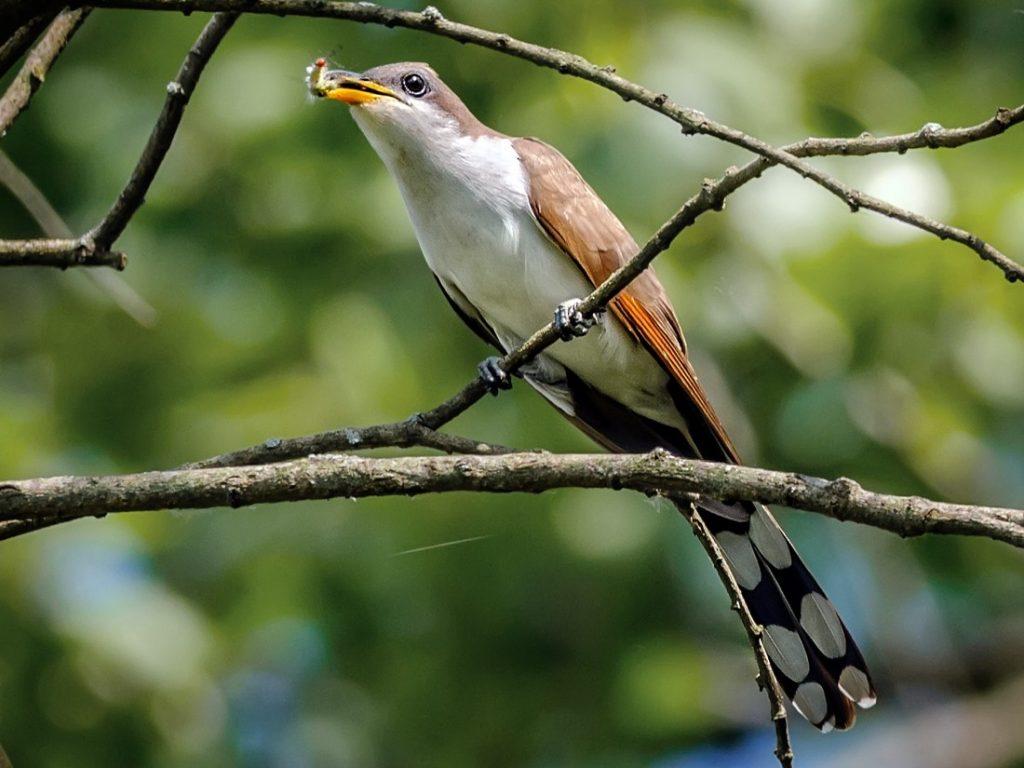 Yellow-billed cuckoo বসন্ত কোকিল