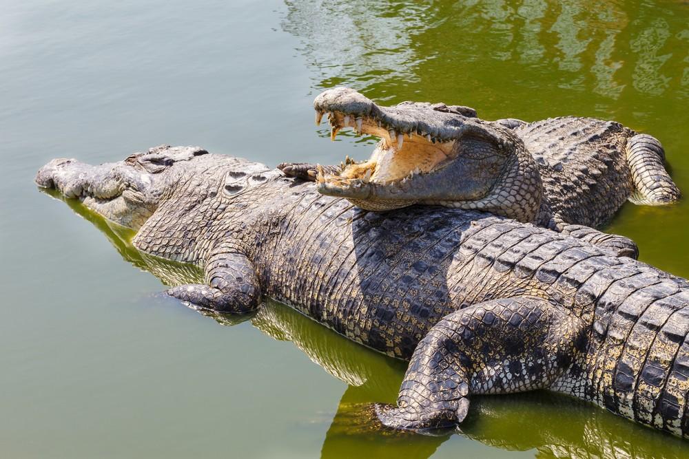 কুমির Saltwater Crocodile