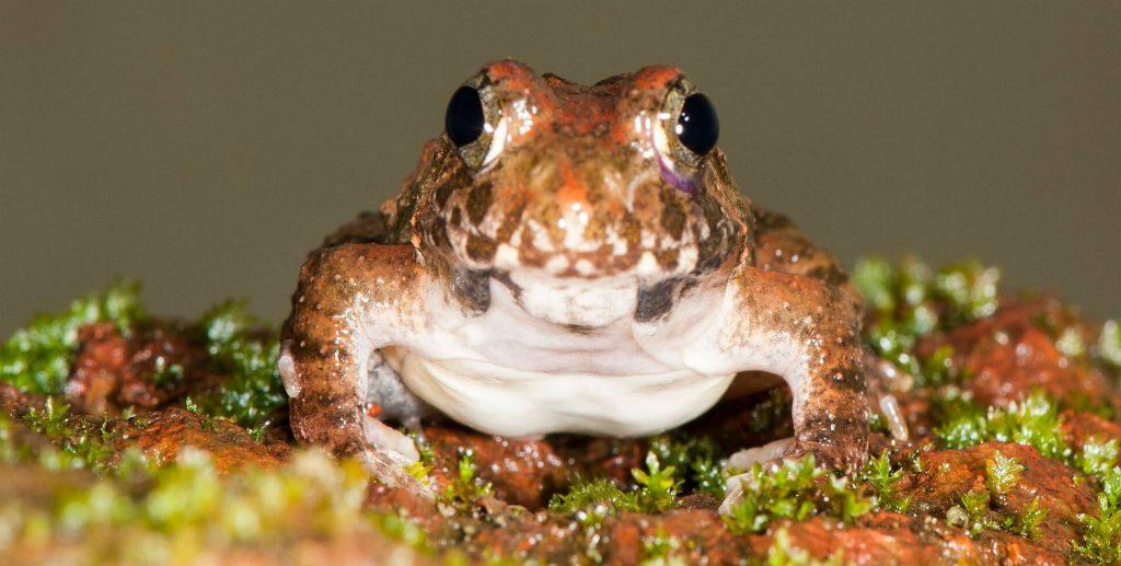 Burrowing frog খাদ্য