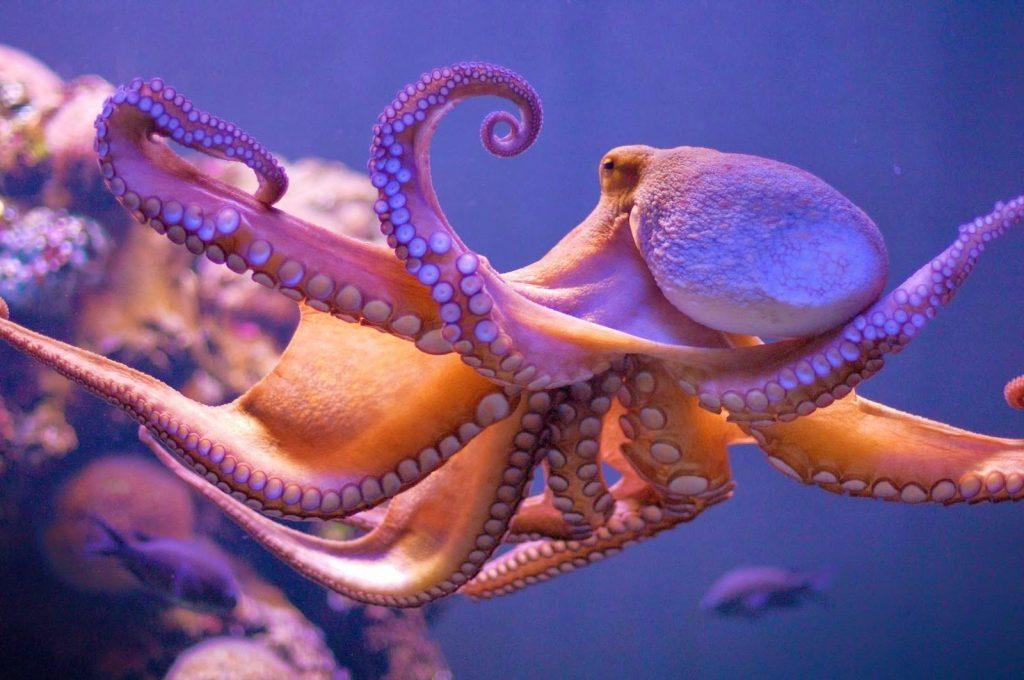 অক্টোপাস (Octopus )
