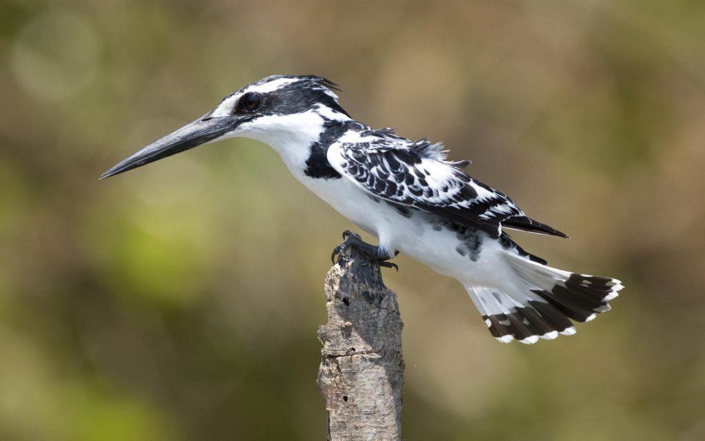 Pied Kingfisher ছিটরংগা
