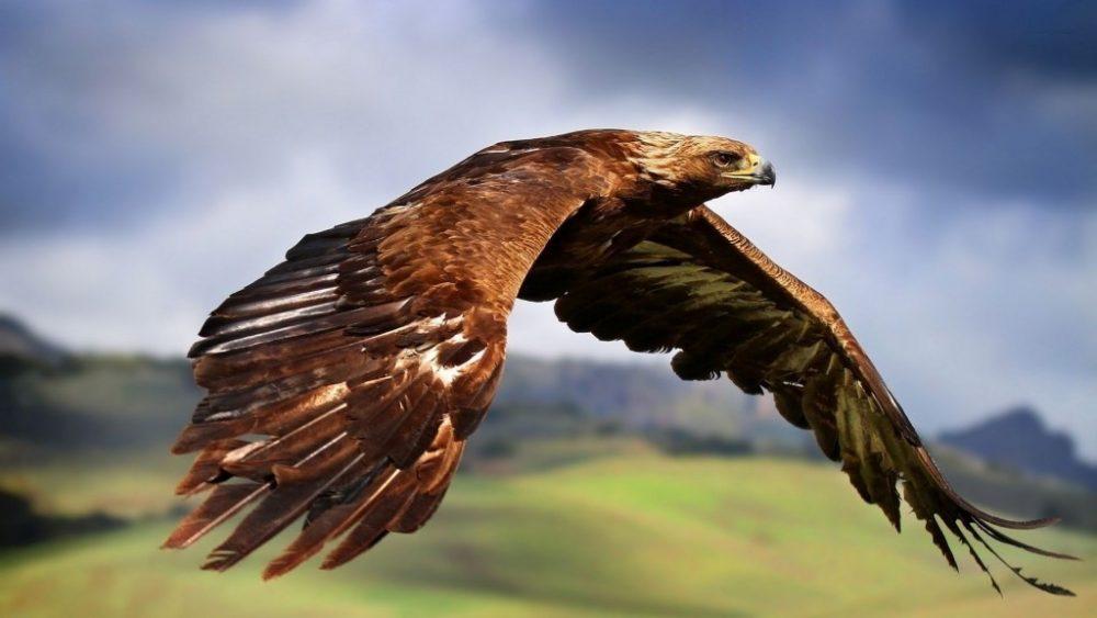 Golden Eagle (দ্রুতগামি পাখি)
