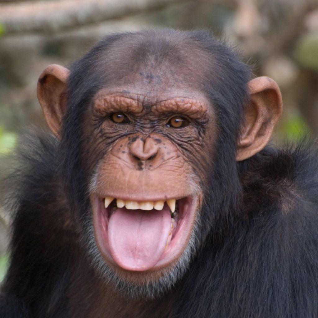 শিম্পাঞ্জি ( chimpanzee )