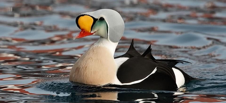 হাঁস ( Duck )