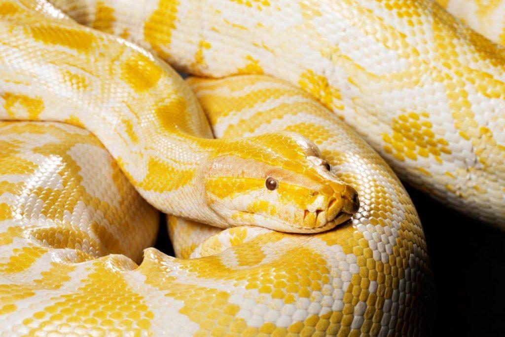 Non-venomous snake