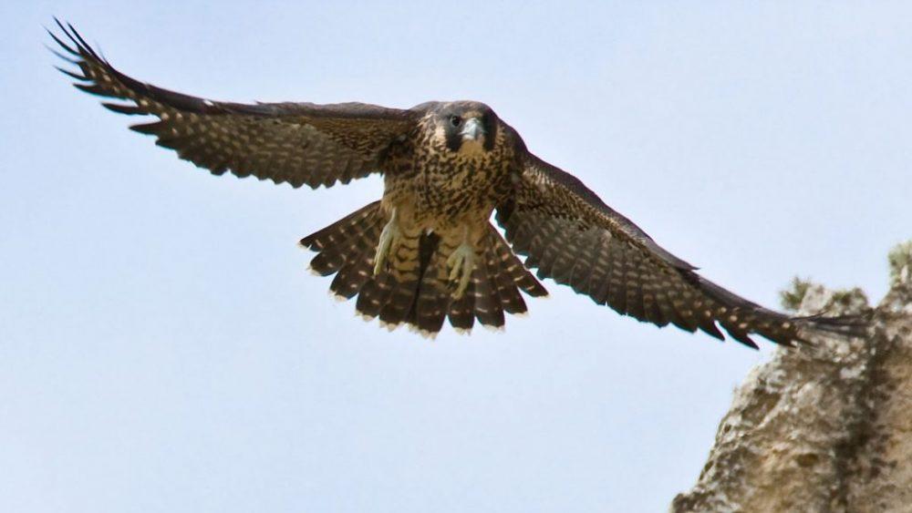 Falcon (দ্রুতগামি পাখি)