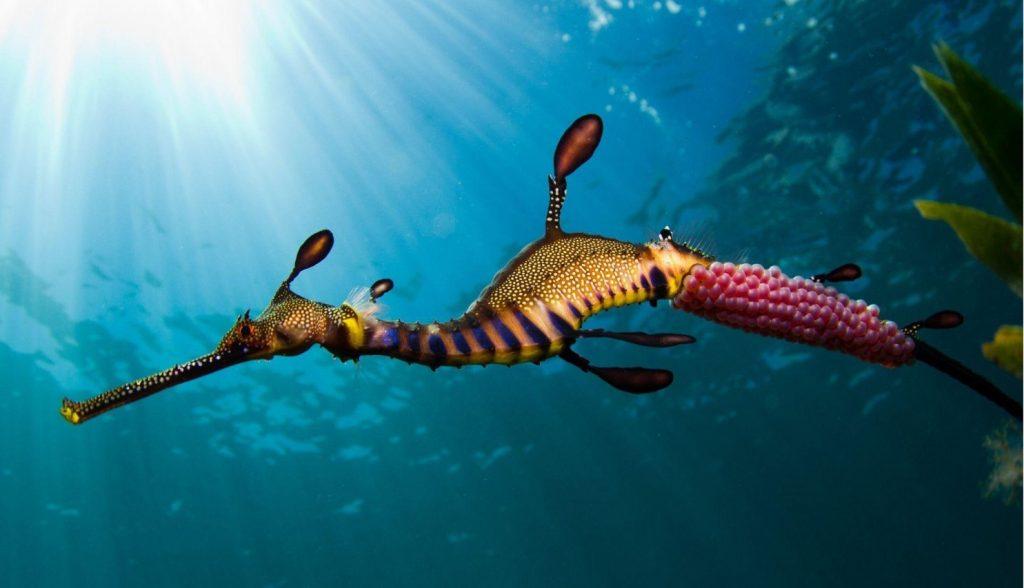 সী-হর্স ( Sea Horse )