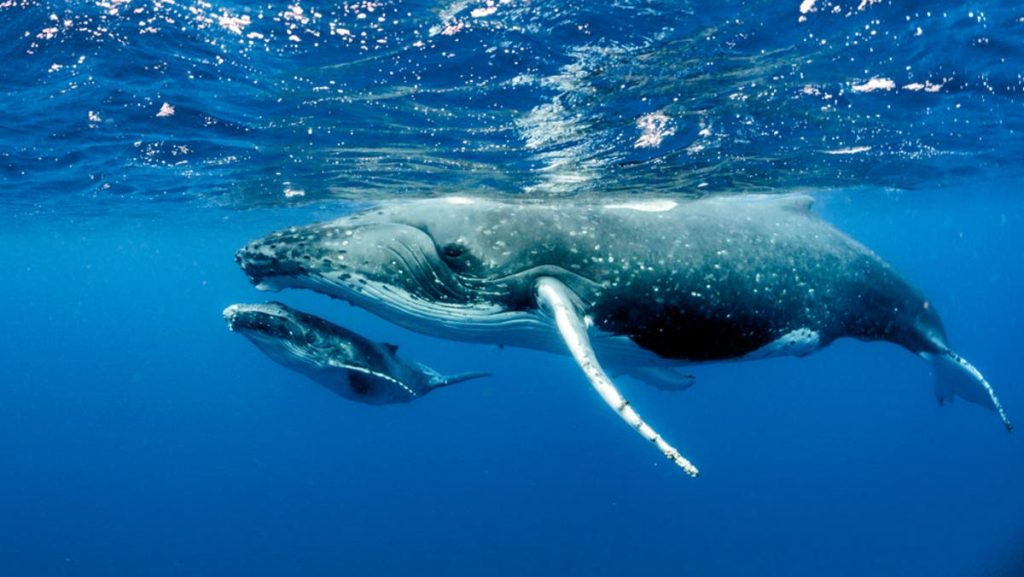 Blue whale নীল তিমি