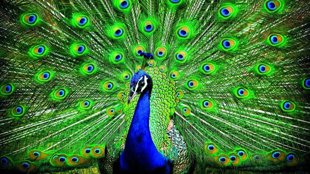 Peafowl ময়ূর পাখি