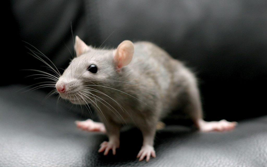 ইঁদুর ( Rat )