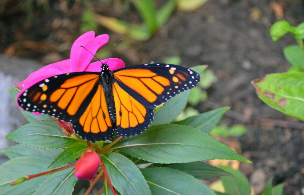 Butterfly ( প্রজাপতি )