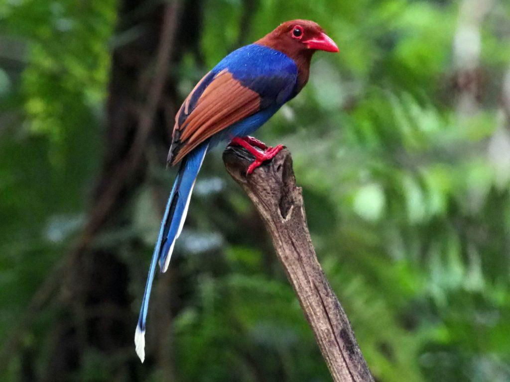 ব্লু ম্যগপাই ( Blue Magpie )